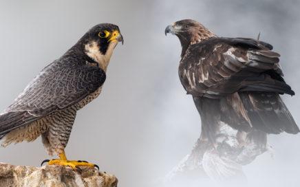 Voler avec les rapaces - Faucon Pélerin, Aigle Royal